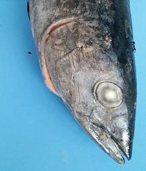 whole-tuna